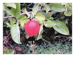 hanging-apple